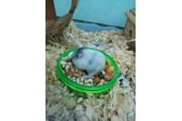 Chuột hamster campell.